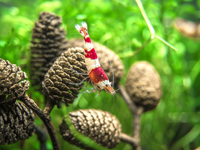 Aquarium Botanicals: Alder Cones