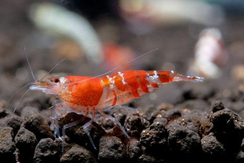 Planted Aquariums - Invertebrates